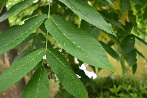 オニグルミの葉っぱ 画像