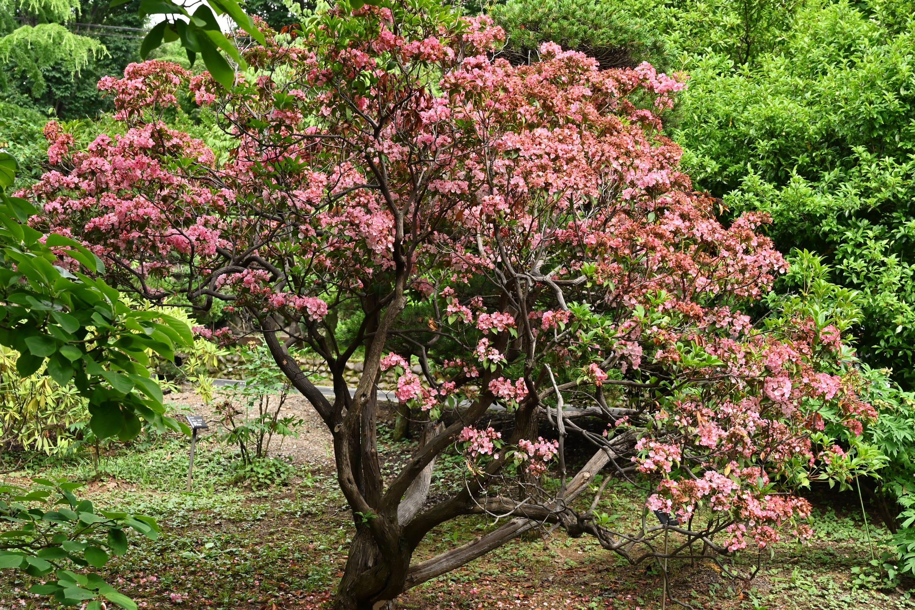 カルミアの開花時期