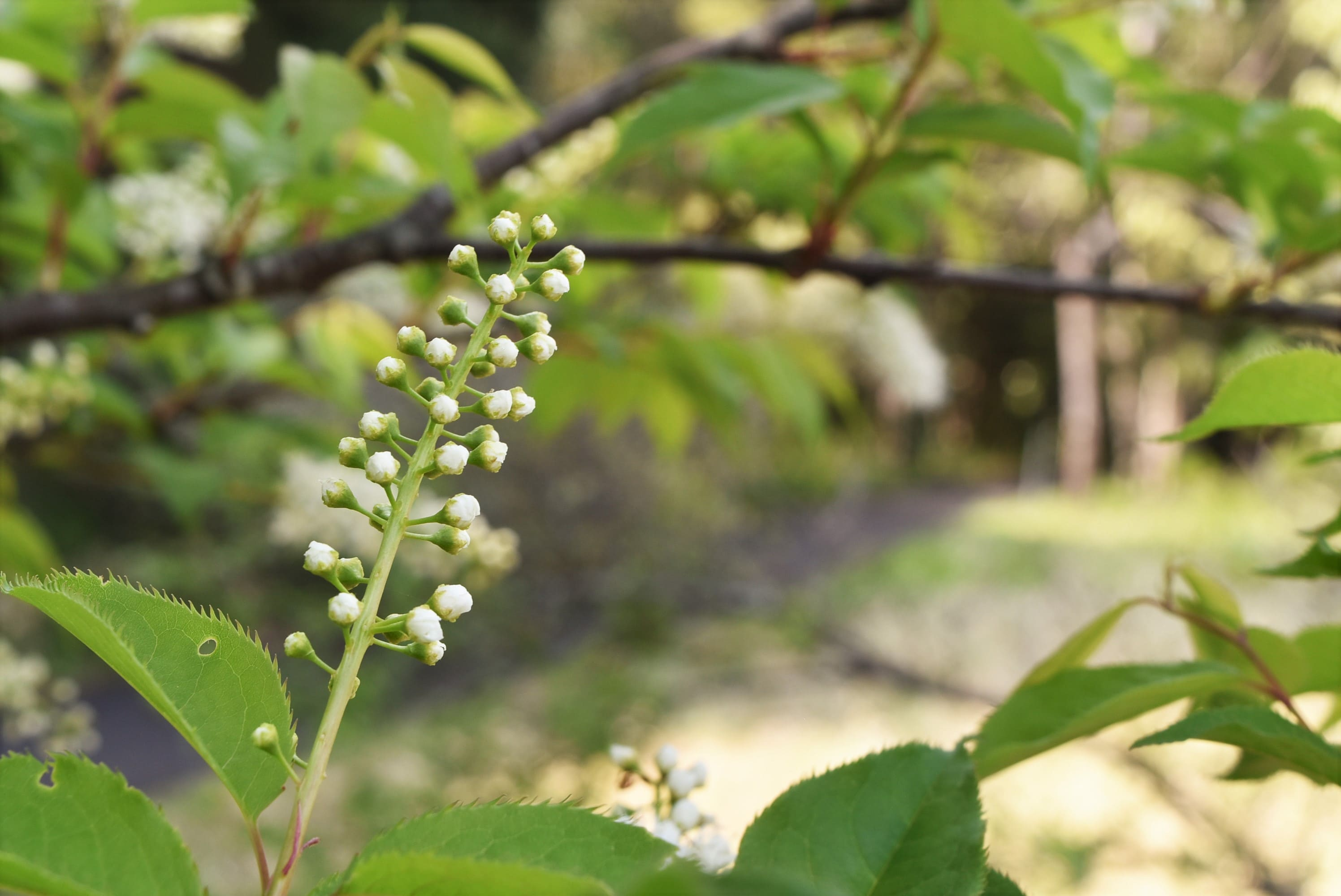Japanese bird cherry