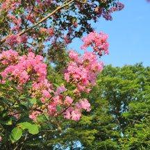 ピンクの花 種類 夏