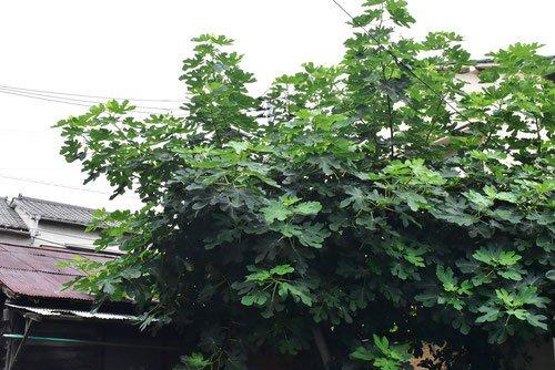 無花果の木 写真