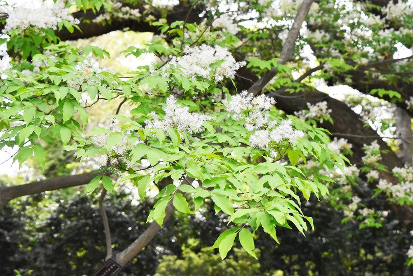 Japanese ash,picture,round leaf