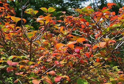 オオデマリの紅葉,時期
