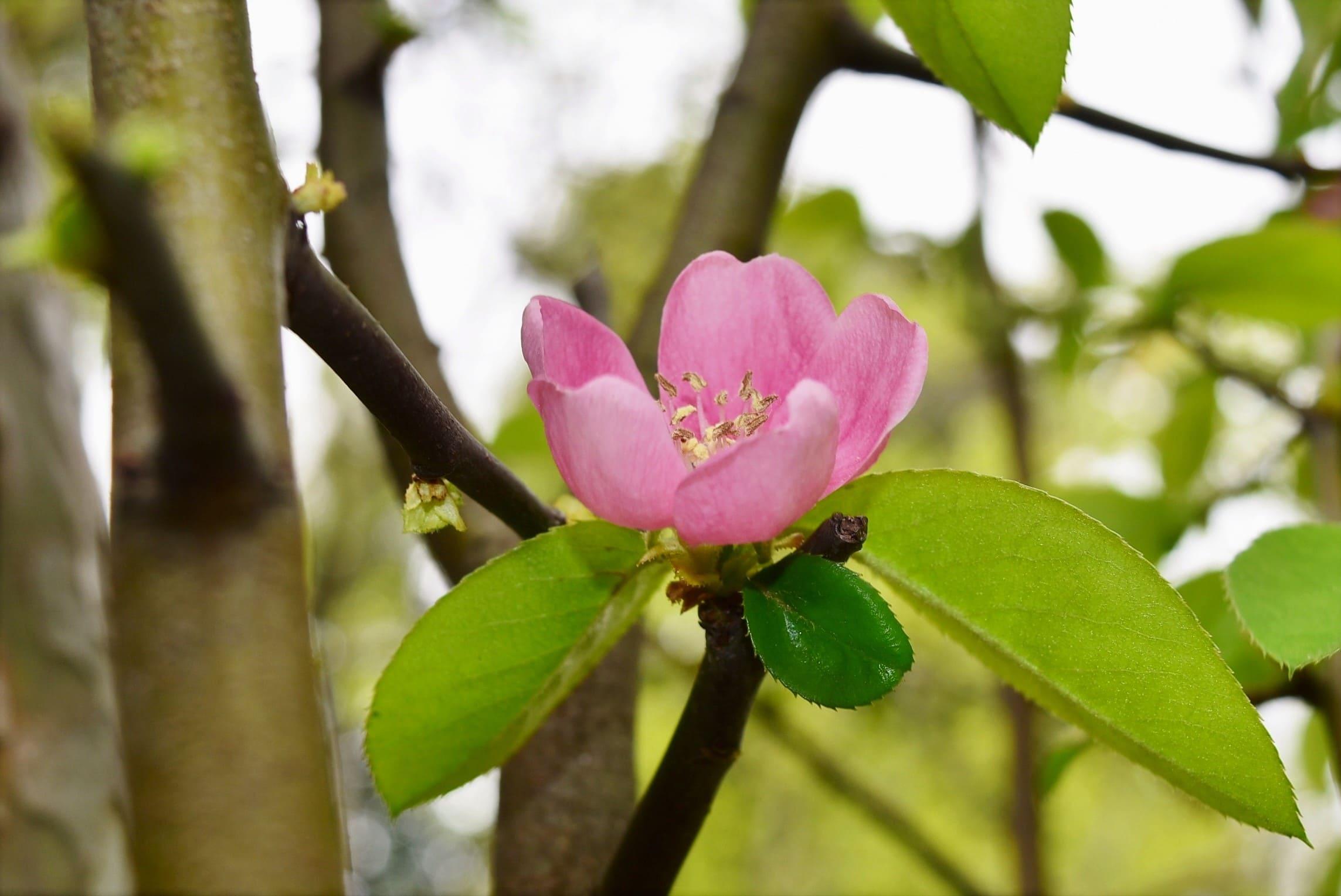 カリンの開花時期