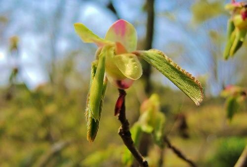 エゴノキの葉 特徴