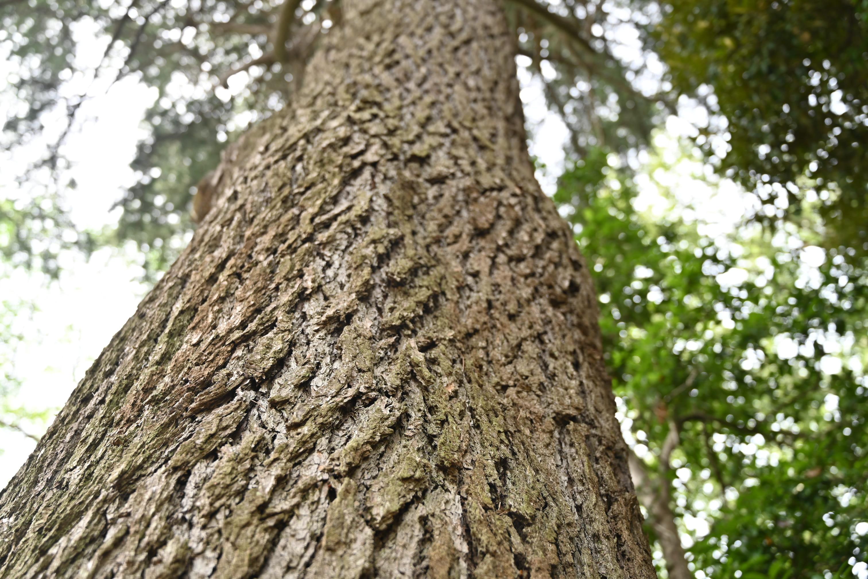 ヒマラヤスギの樹皮 画像