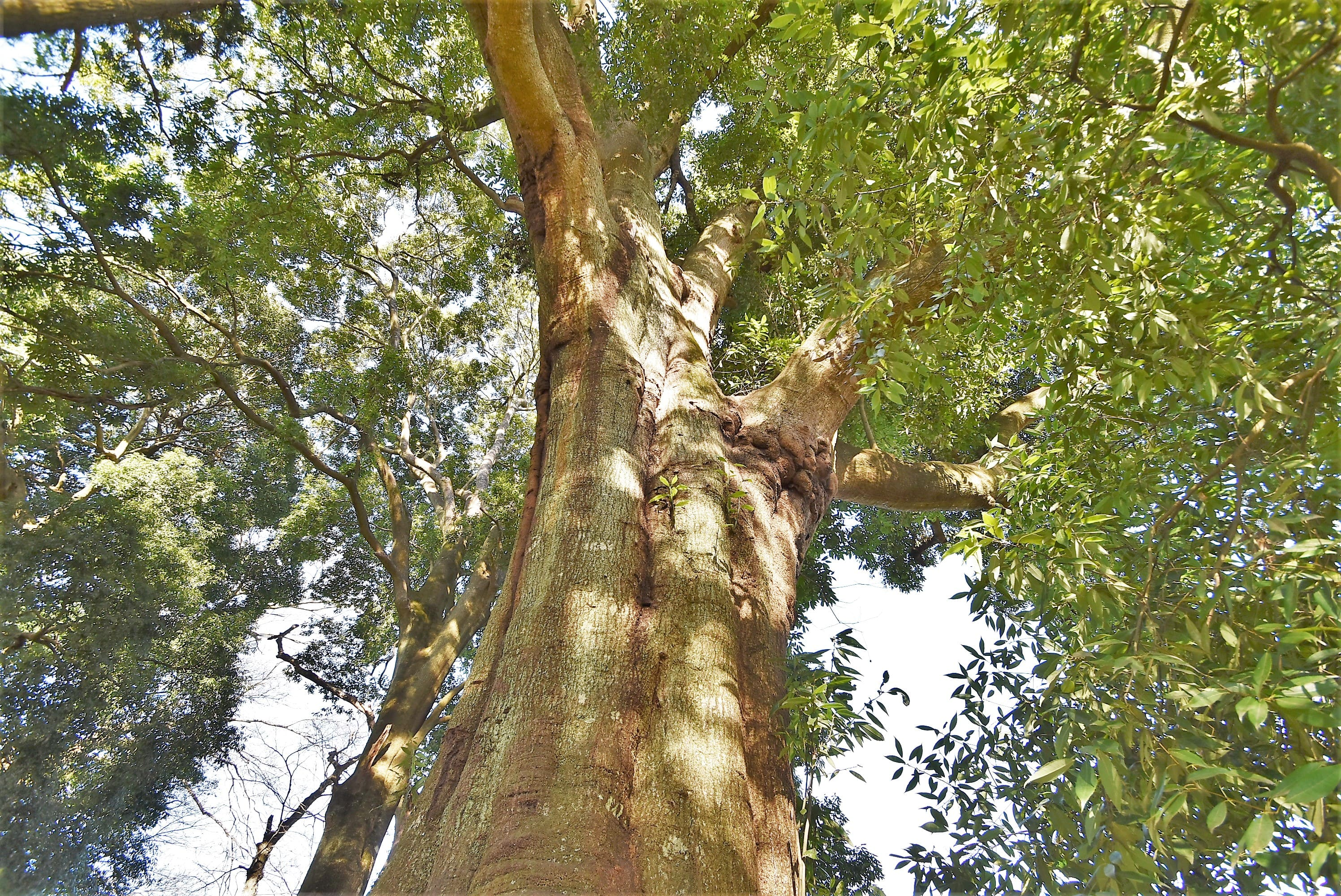 巨樹 シラカシ