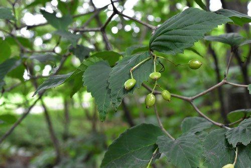 オトコヨウゾメ,樹木