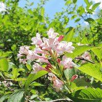 桃色の花が咲く樹木