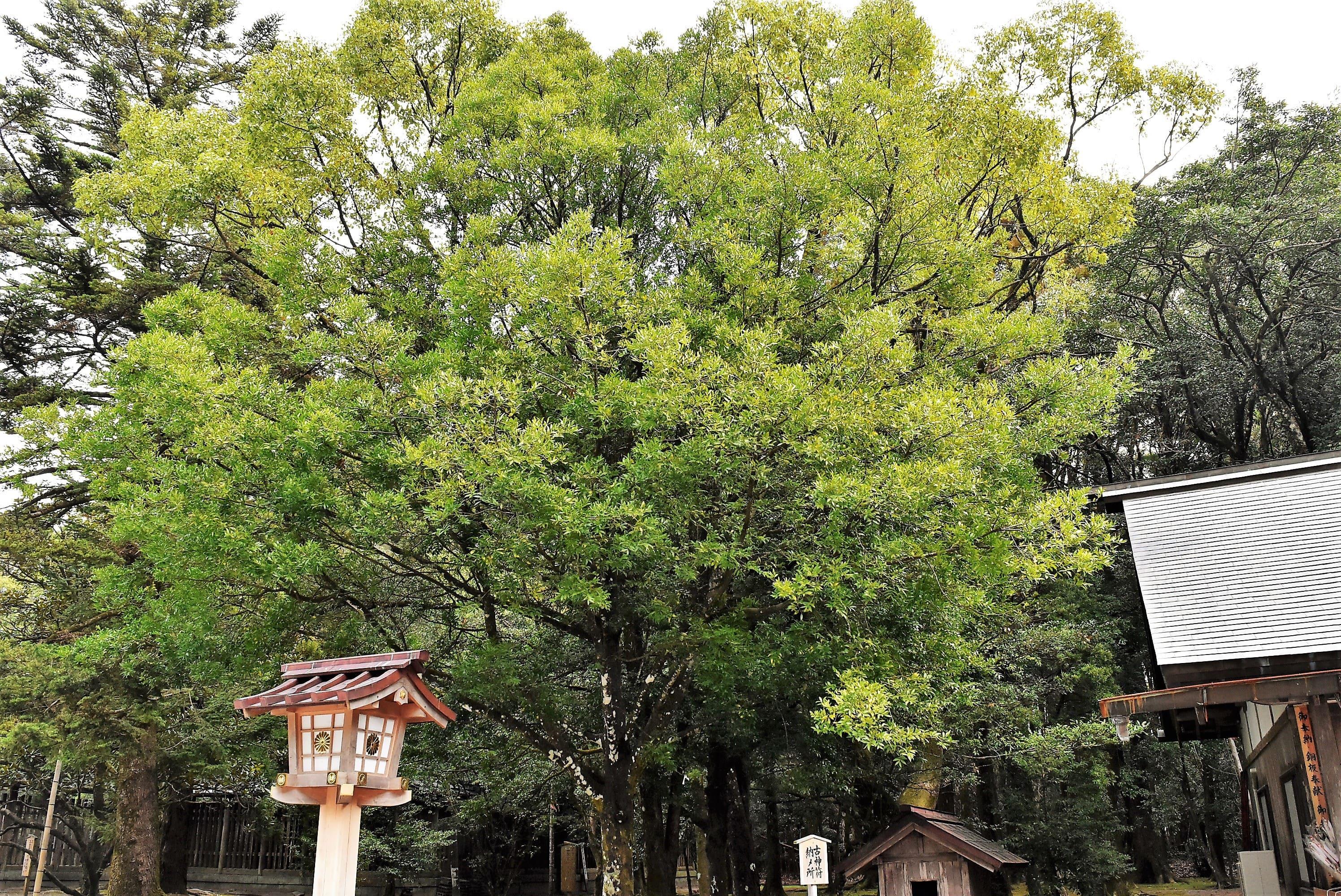 ナギという木