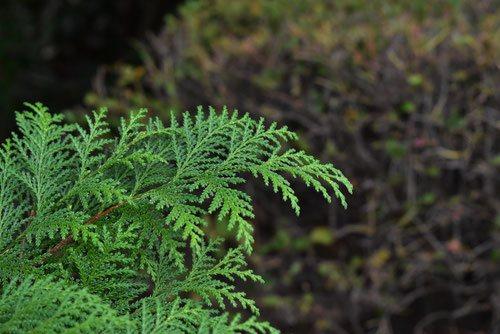 シノブヒバの葉,しのぶひば,画像