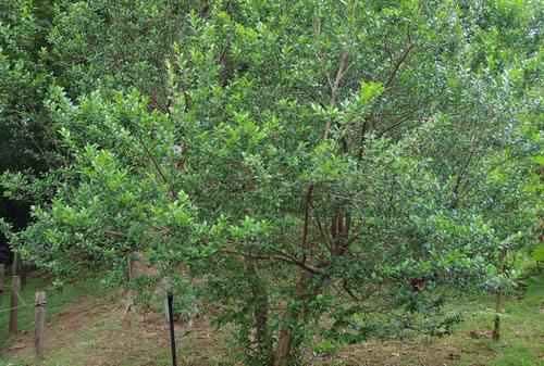 ギンバイカ 木の高さ