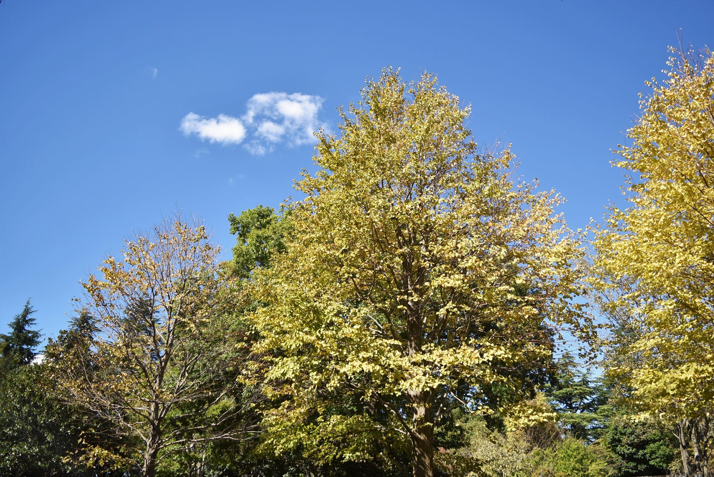 カツラの木 紅葉