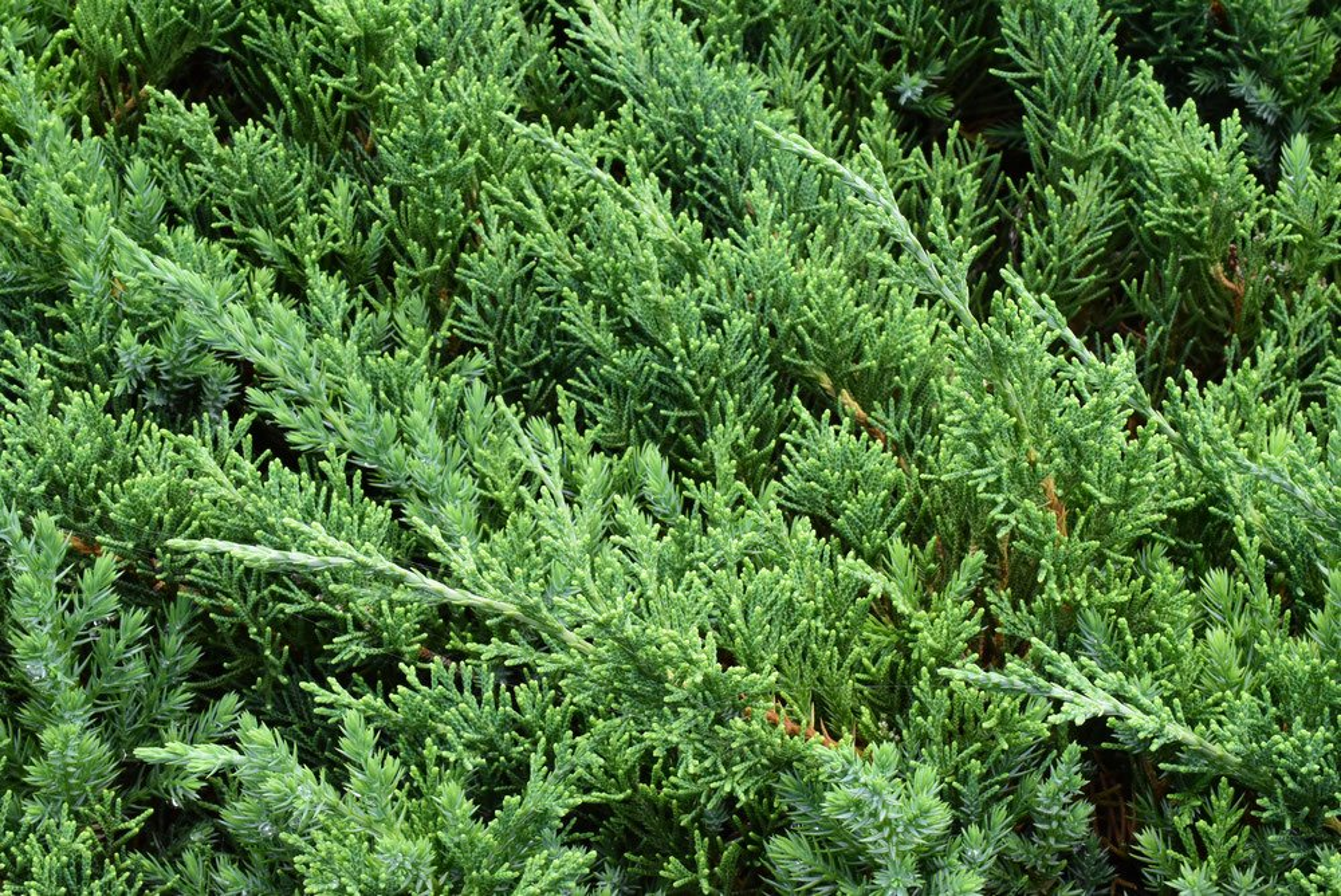 ハイビャクシン 画像 庭木