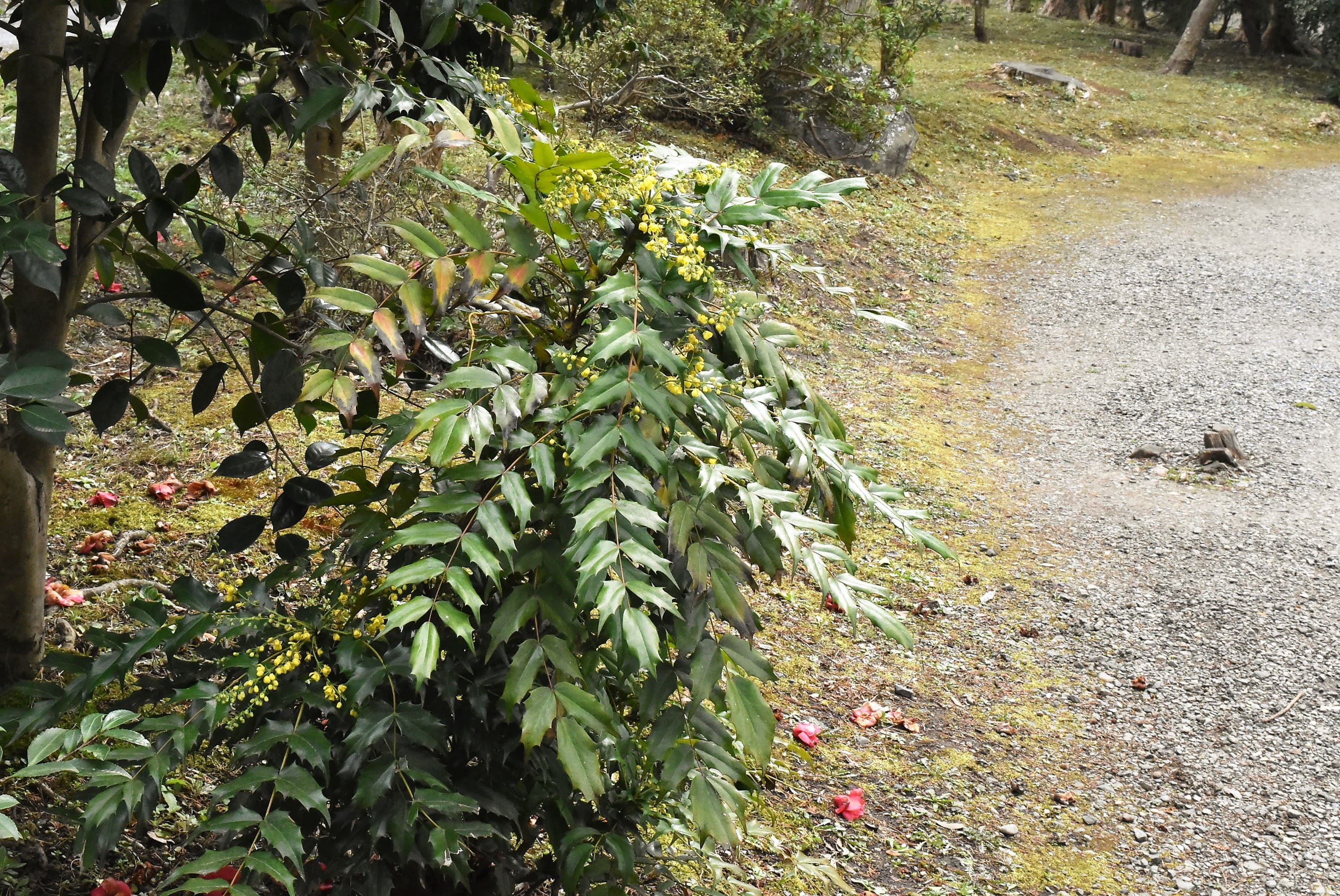 日陰に強い木 ヒイラギナンテン