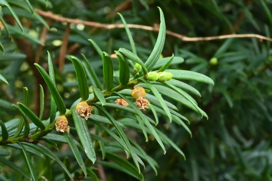 伽羅木の花 時期
