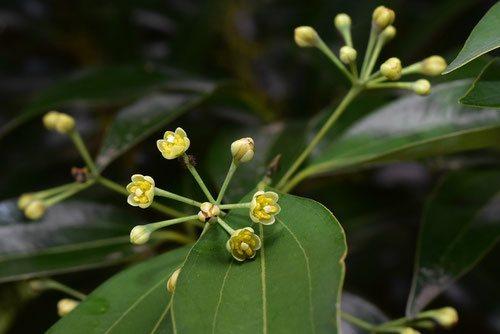 ヤブニッケイ 花の時期 画像