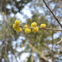 yellow flowers in Japan