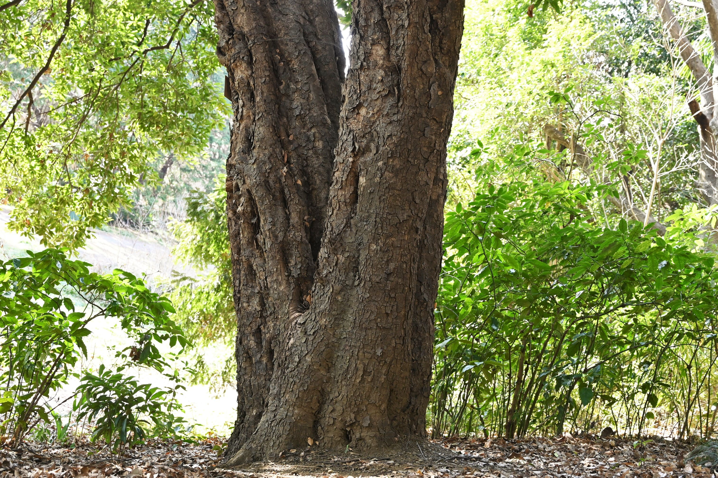 赤樫 大木