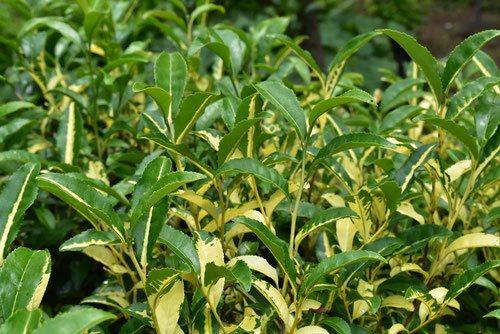 お茶の木 種類