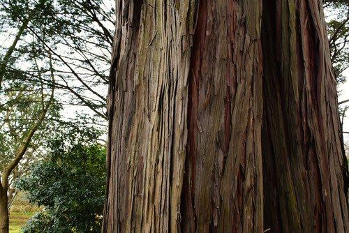 檜の幹 画像