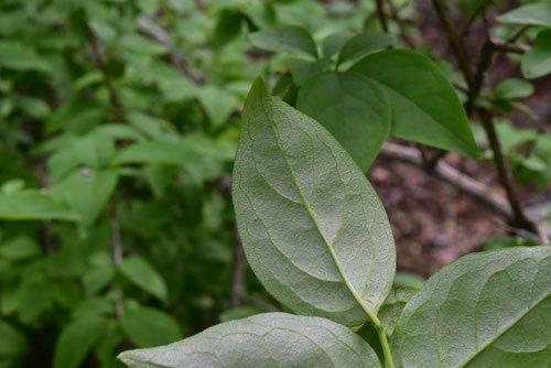 ウチワノキ,うちわのき,葉っぱ,画像