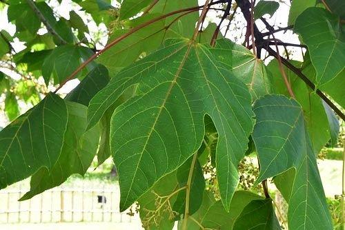 アオギリの葉っぱ 画像