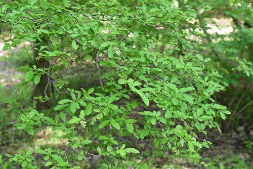 イボタノキ 庭木図鑑