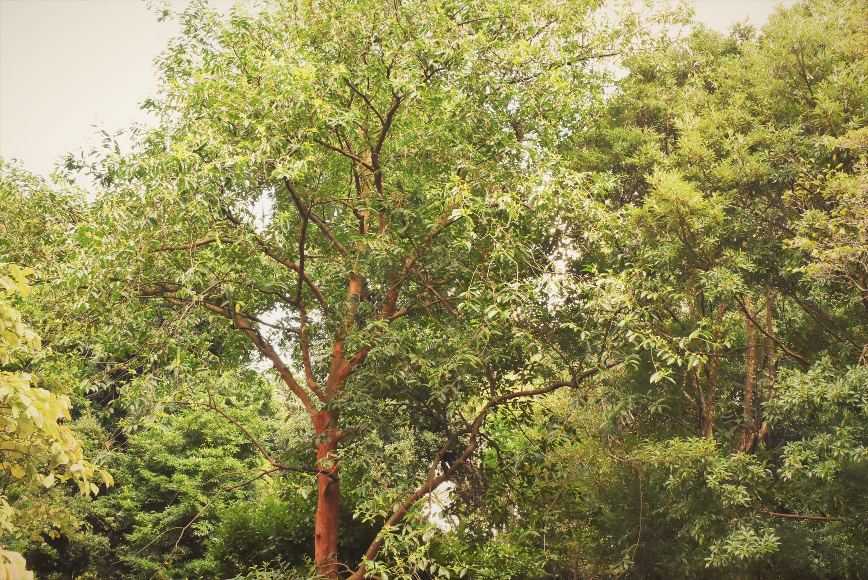 ビランジュ 樹形 バクチノキ