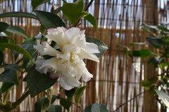 カンツバキ 白い花の品種