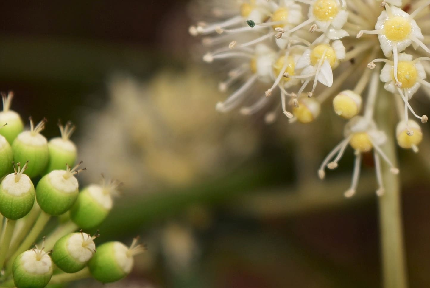 Japanese Aralia,flower