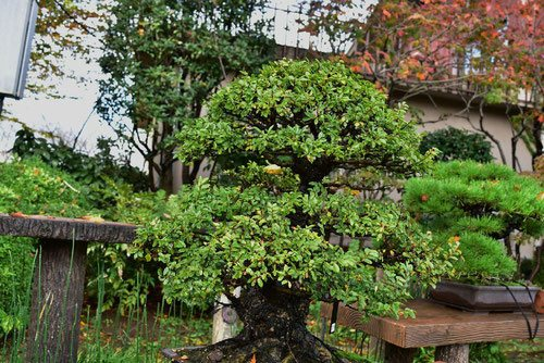 Bonsai,Chinese elm
