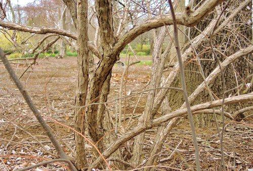 white forsythia tree