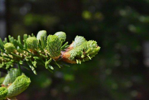 ウラジロモミ,新芽,画像