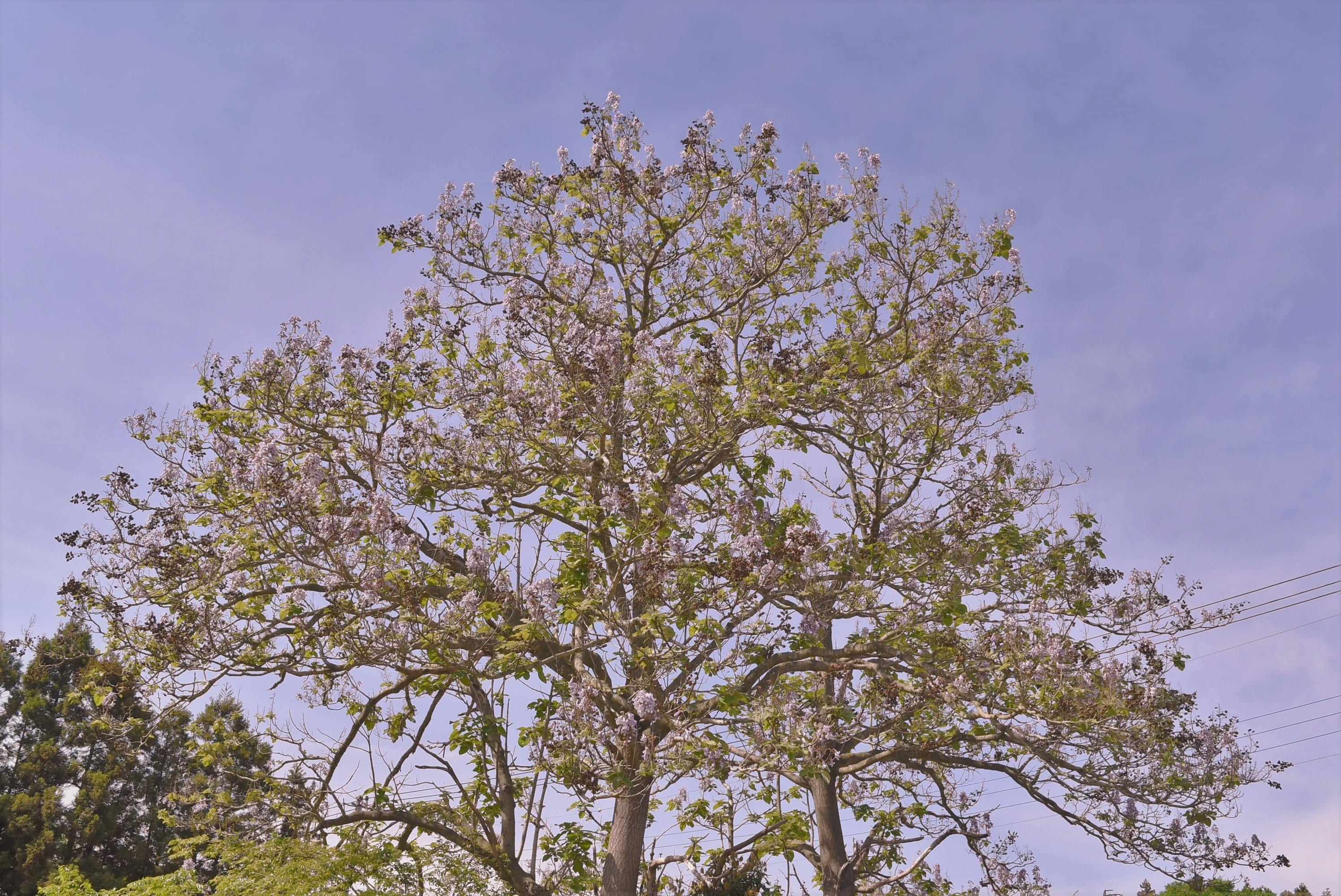 桐の花 開花時期