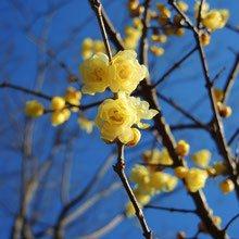 黄色 庭木 図鑑
