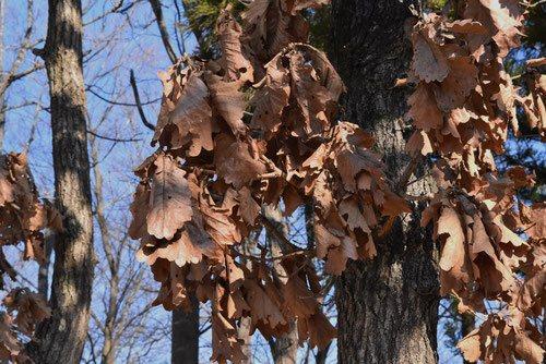 柏の葉っぱ,冬でも