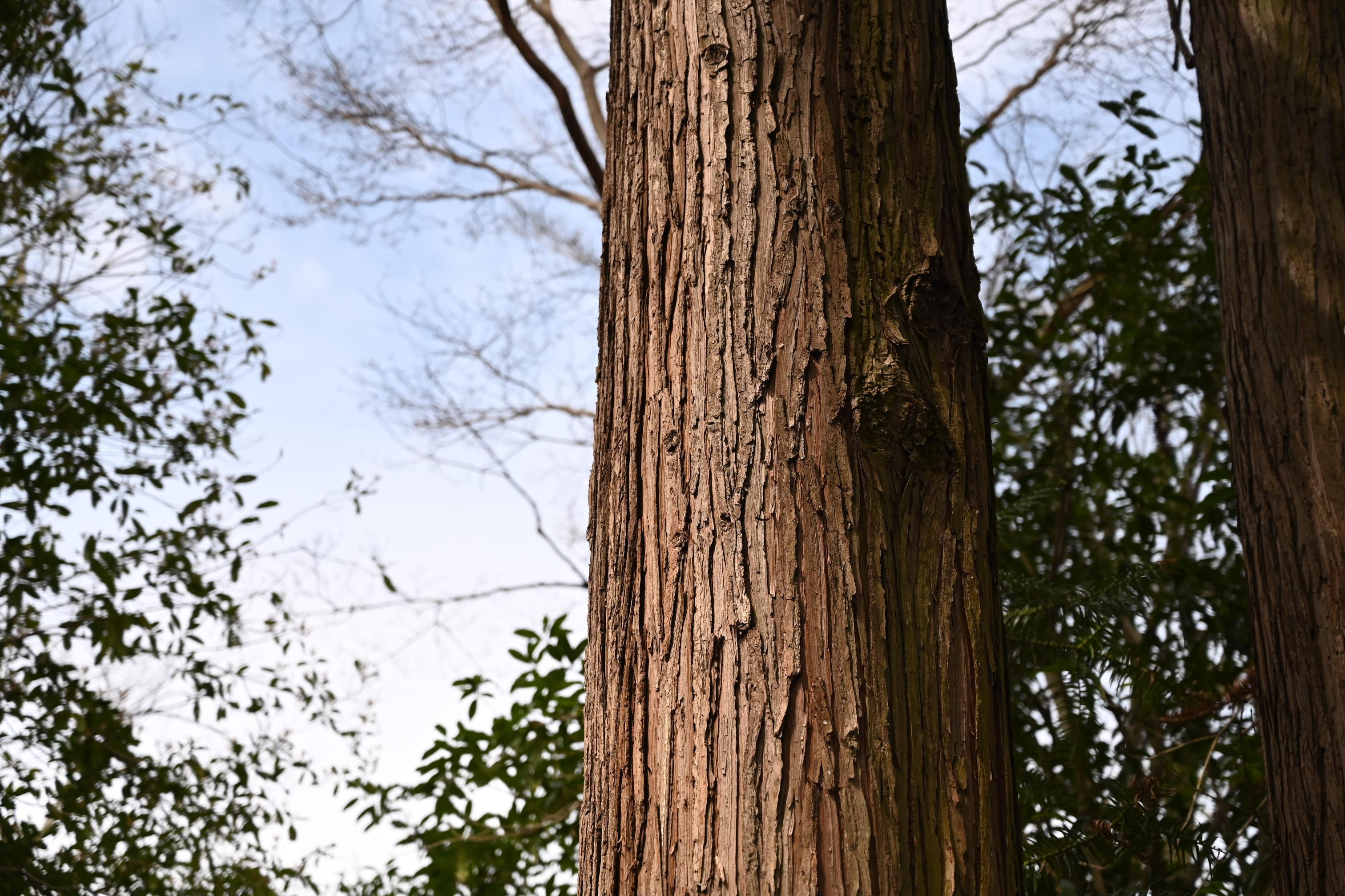 コウヨウザン 樹皮 画像