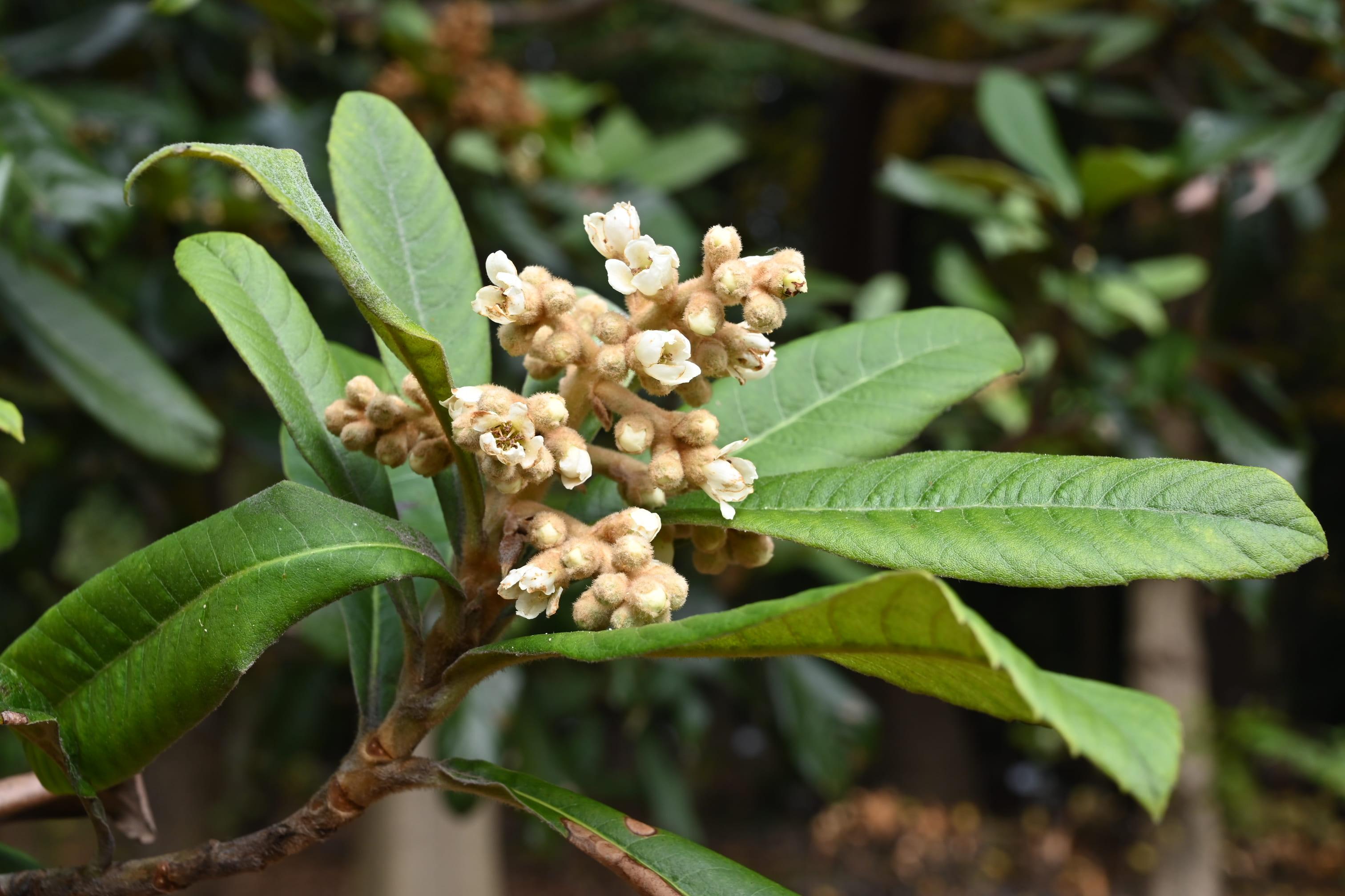 ビワの花 画像 図鑑 特徴
