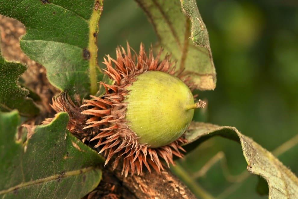 ドングリの木,種類