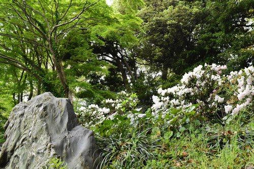 シャクナゲ 花 画像
