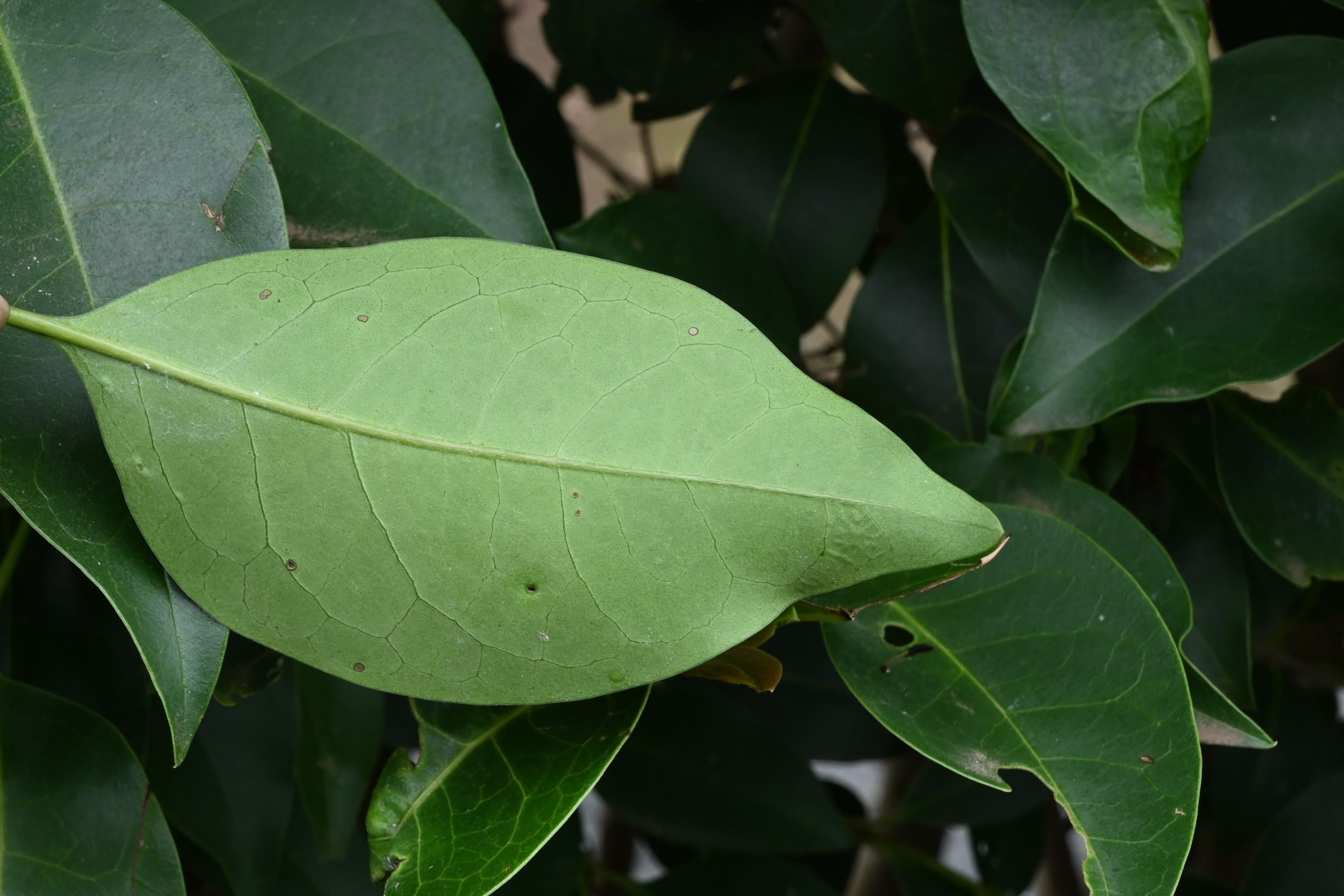 leaf,Glossy privet in Japan