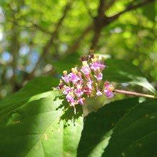 ムラサキの花が咲く木 種類