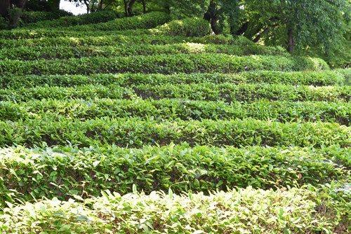茶畑,お茶の木,画像,皇居