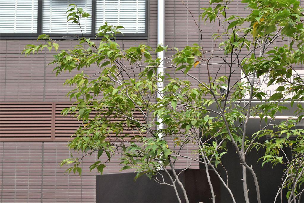 ハイノキ 樹形