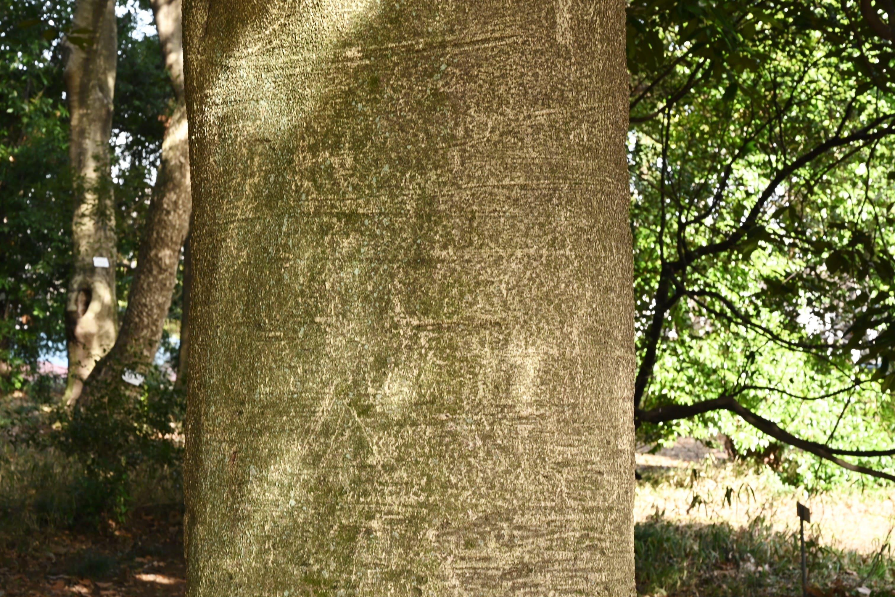 多羅葉,樹木,特徴