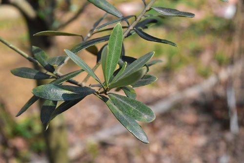 オリーブの葉 画像
