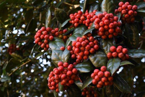 赤い実 クリスマス ヒイラギ