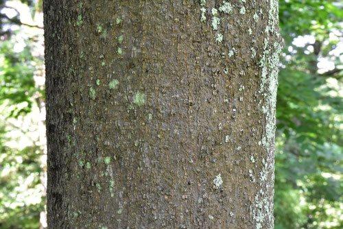 トリモチの木 鳥糯