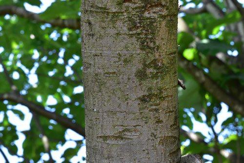 Japanese loquat,trunk